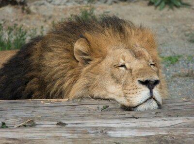 Quadro Leão do sono