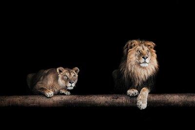 Quadro Leão, Leoa, Retrato, bonito, Leões, Leões ...