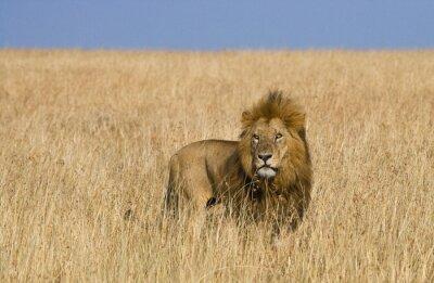 Quadro Leão masculino grande no savanna. Parque Nacional. Quênia. Tanzânia. Maasai Mara. Serengeti. Uma excelente ilustração.