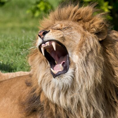 Quadro Leão masculino que tem um bocejo
