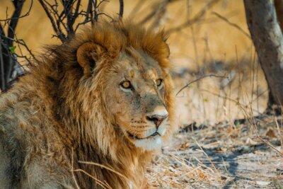 Quadro leão na África