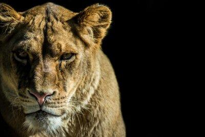 Quadro leone - leão