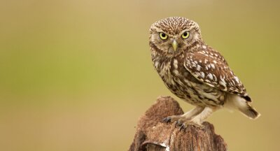Quadro Little owl on an old post looking at the camera