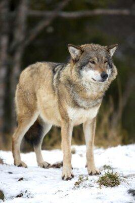 Quadro Lobo que está na floresta de inverno frio
