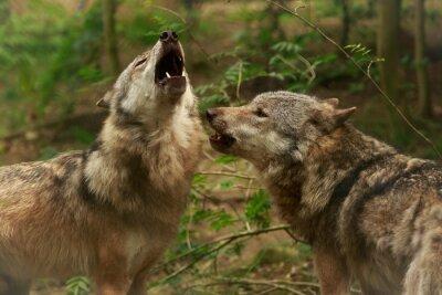 Quadro Lobos uivando