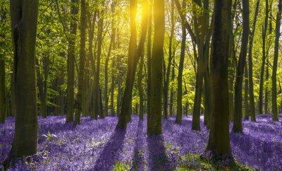 Quadro Luz Solar lança sombras sobre bluebells em uma madeira
