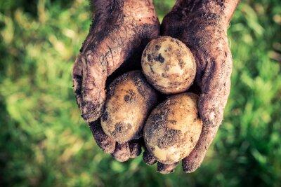 Quadro Maduro, batatas, mãos