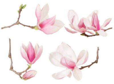 Quadro Magnolia coleção primavera flor galho no trajeto do branco, escorando