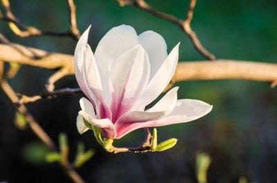 Quadro magnolia flower in sunlight