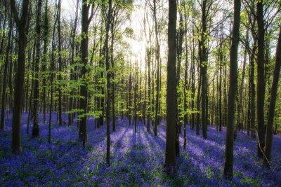 Quadro Manhã bonita na Primavera floresta bluebell com feixes do sol throu