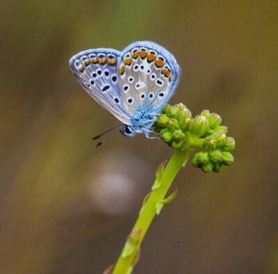 Quadro Mariposa azul em flor