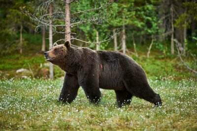 Quadro Masculino urso marrom