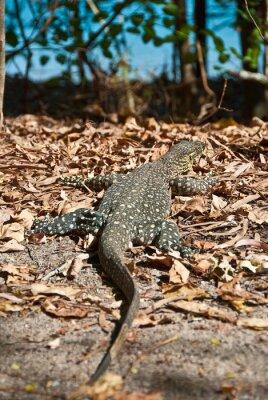 Quadro Monitorar Lagarto em Whitsundays