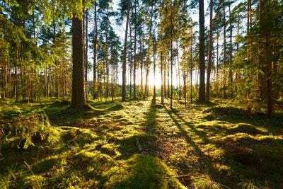 Quadro Nascer do sol na floresta de pinheiros