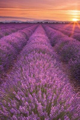 Quadro Nascer do sol sobre campos de lavanda na Provence, França