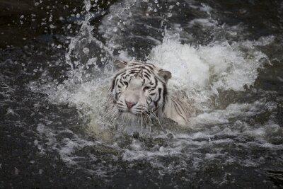 Quadro Natação tigre branco