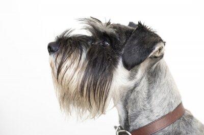 Quadro O cão Schnauzer sábio
