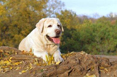Quadro O labrador amarelo agradável no parque no outono