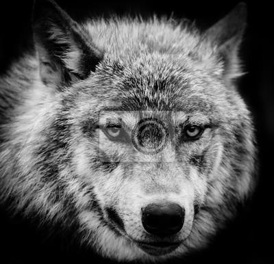 Quadro O lobo eyes um tiro principal preto e branco de um lobo cinzento.