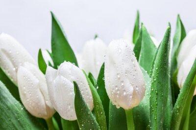 Quadro O ramalhete branco fresco da tulipa com água deixa cair o close-up no fundo branco. Primavera