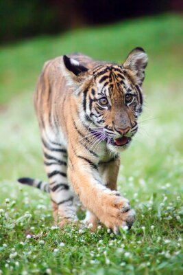 Quadro O tigre de bebê de Bengal está andando através de um prado.