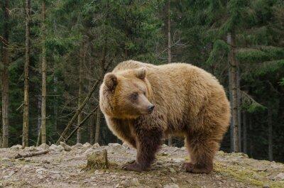 Quadro O urso está procurando a mola na floresta