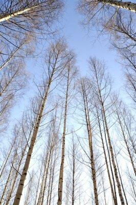 Quadro Olhar, cima, branca, troncos, grupo, despido, vidoeiro, árvores