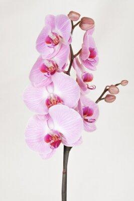 Quadro Orchidea listada cor-de-rosa