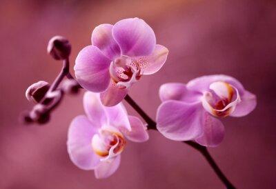 Quadro Orchidea - Storczyki fiolet