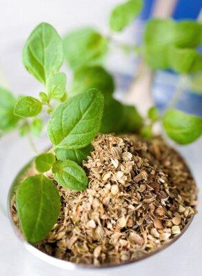 Quadro Oregano fresco / seco / Origanum vulgare