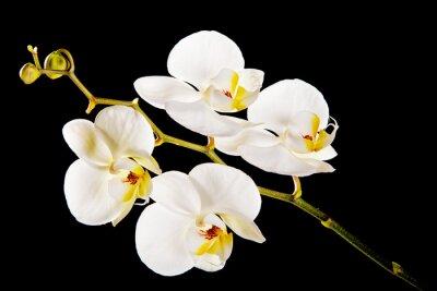 Quadro Orquídea branca com centro amarelo