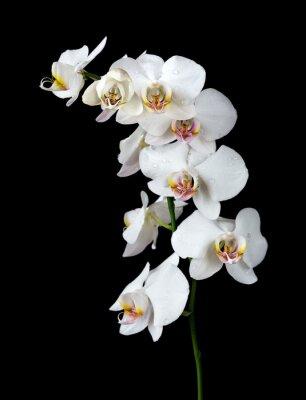 Quadro Orquídea branca em um fundo preto