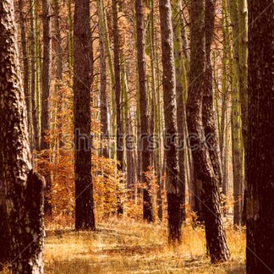 Quadro outono dourado fantástico na floresta de pinheiros troncos de plantas de laranja brilhante de árvores altas limpas e ninguém em torno da beleza do nosso mundo