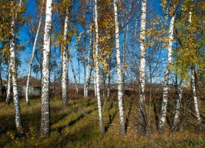 Quadro Outono, paisagem, vidoeiros