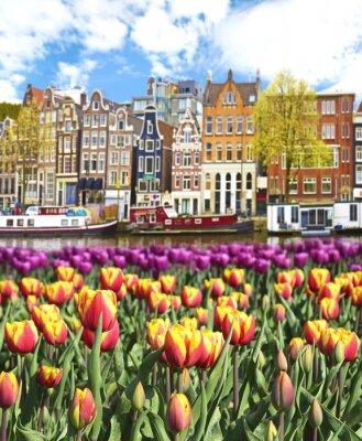 Quadro Paisagem bonita com tulipas e casas em Amsterdam, Holanda