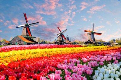 Quadro Paisagem, com, tulips, tradicional, holandês, moinhos vento, e, casas, perto, a, canal, em, Zaanse, Schans, países baixos, europa