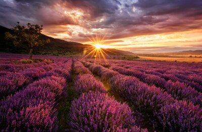 Quadro Paisagem deslumbrante com campo de lavanda ao nascer do sol