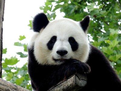 Quadro Panda Géant 7