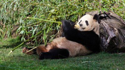 Quadro panda Oso bambú Tumbado comiendo