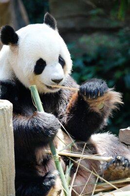 Quadro Panda urso comer bambu