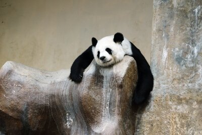 Quadro panda urso de descanso