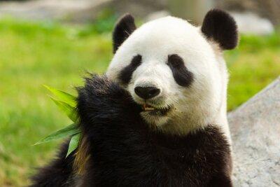Quadro Panda urso que come o bambu