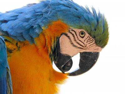 Quadro papagaio cabeça animal