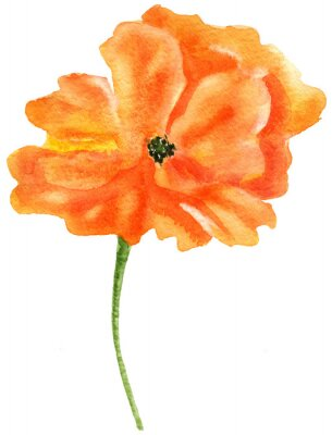 Quadro Papoila alaranjada. Pintura em aquarela, isolado no fundo branco