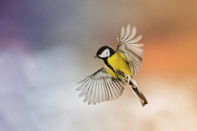 Quadro Pássaro, pássaro, mosca, esticar, seu, asas, céu, pôr do sol
