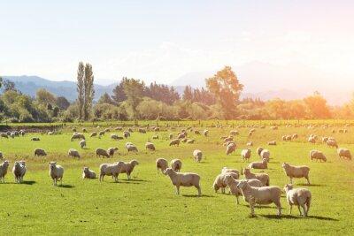 Quadro Pastagem, animais, verão, ensolarado, dia, Novo, Zelândia