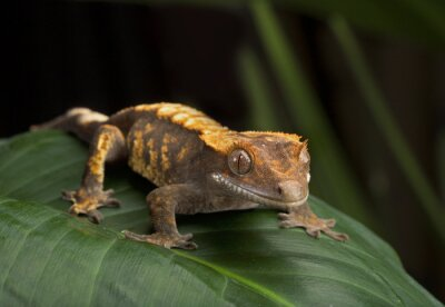 Quadro Perfil do lado do Gecko com crista