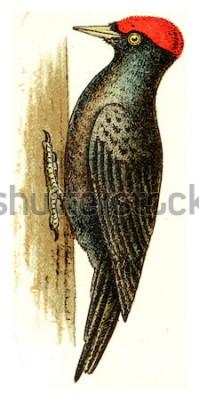 Quadro Pica-pau preto, vintage ilustração gravada. De Atlas Deutch Birds of Europe.