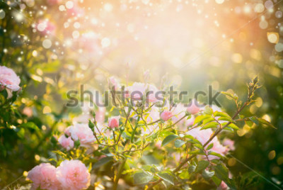 Quadro Pink pale roses bush over summer garden or park nature background. Roses garden, outdoor with sunshine and bokeh