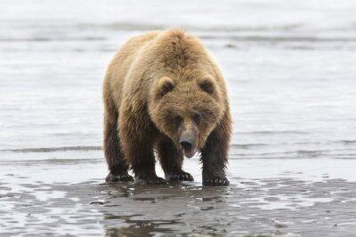 Quadro Portrait of wild free roaming brown bear